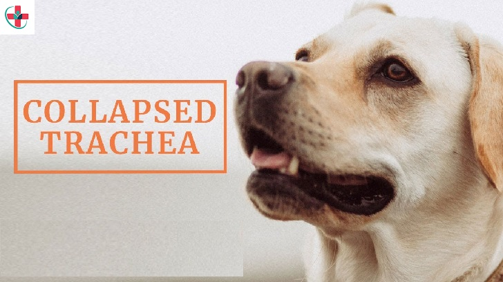 Home remedies to aid your dog's collapsed trachea