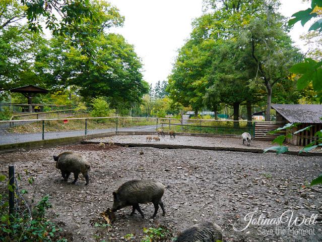 Wildschweine im WildTierPark Edersee