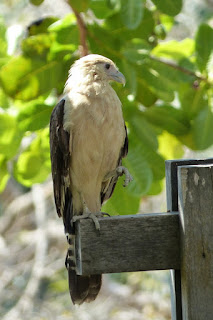 Caracara à tête jaune - Milvago chimachima