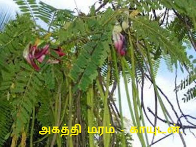 Akatti Tree