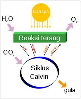 Rumus Kimia Fotosintesis