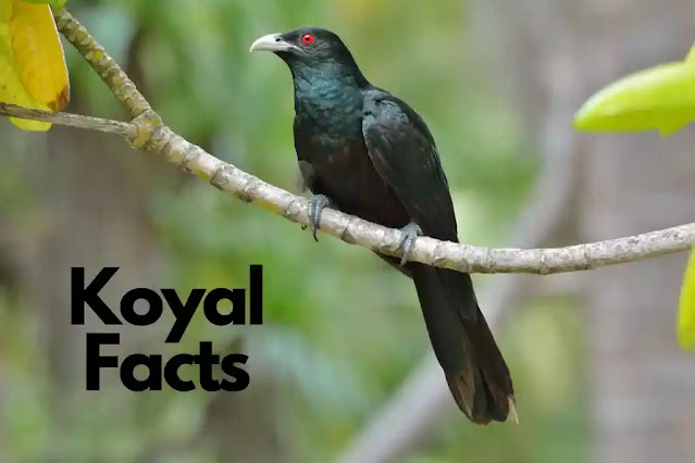 40 Information Facts About Koyal (Koel) in Hindi