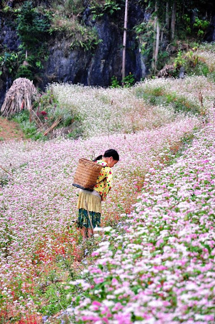 Buckwheat flowers to stretch endlessly in Ha Giang in October ~ Travel Around The World