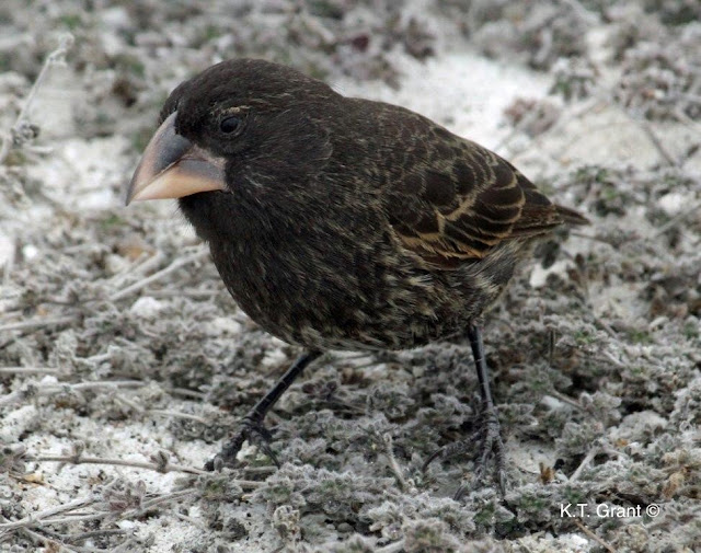 Study of Darwin's finches reveals that new species can develop in as little as two generations