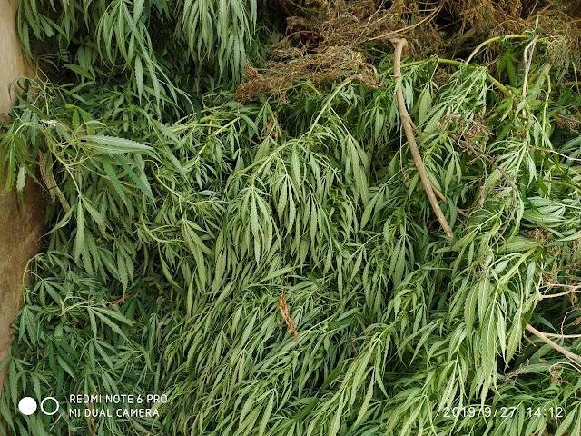 Σύλληψη 55χρονου στην Αργολίδα που καλλιεργούσε 66 δενδρύλλια κάνναβης