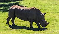 Massive rhinoceros standing on grass