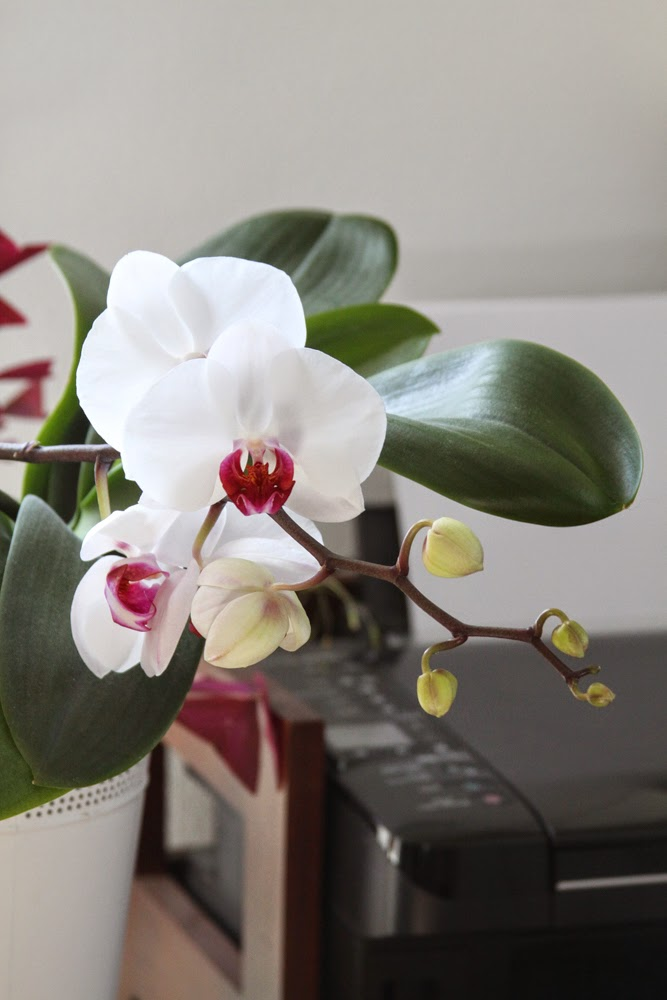 white pink orchid phalaenopsis flowers