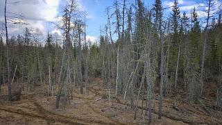Лес около старого тракта