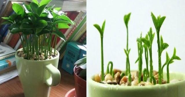 Plant A Lemon