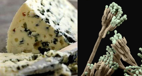 Сыр Рокфор & а Penicilinium rokforty