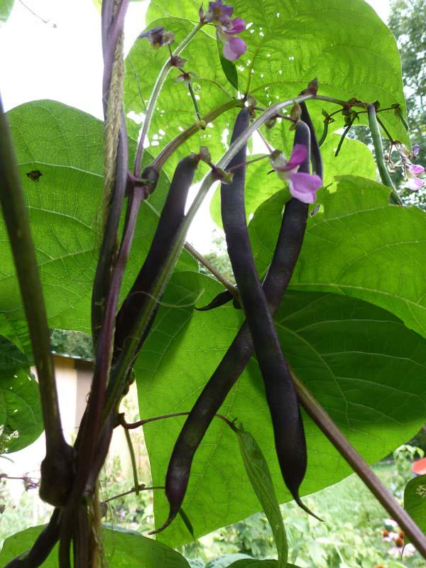 The Enchanted Tree Purple Pole Beans My Favorite Snap