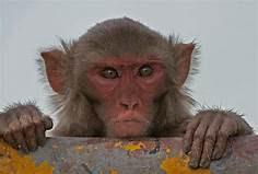 Macacos atacam laboratório e roubam sangue infectado