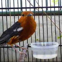 Cara Mengatasi Burung Anis Merah Ngeboss