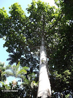 Quipo tree top, Foster Botanical Garden - Honolulu, HI