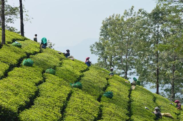 Randonnée dans les plantations de thé à Munnar