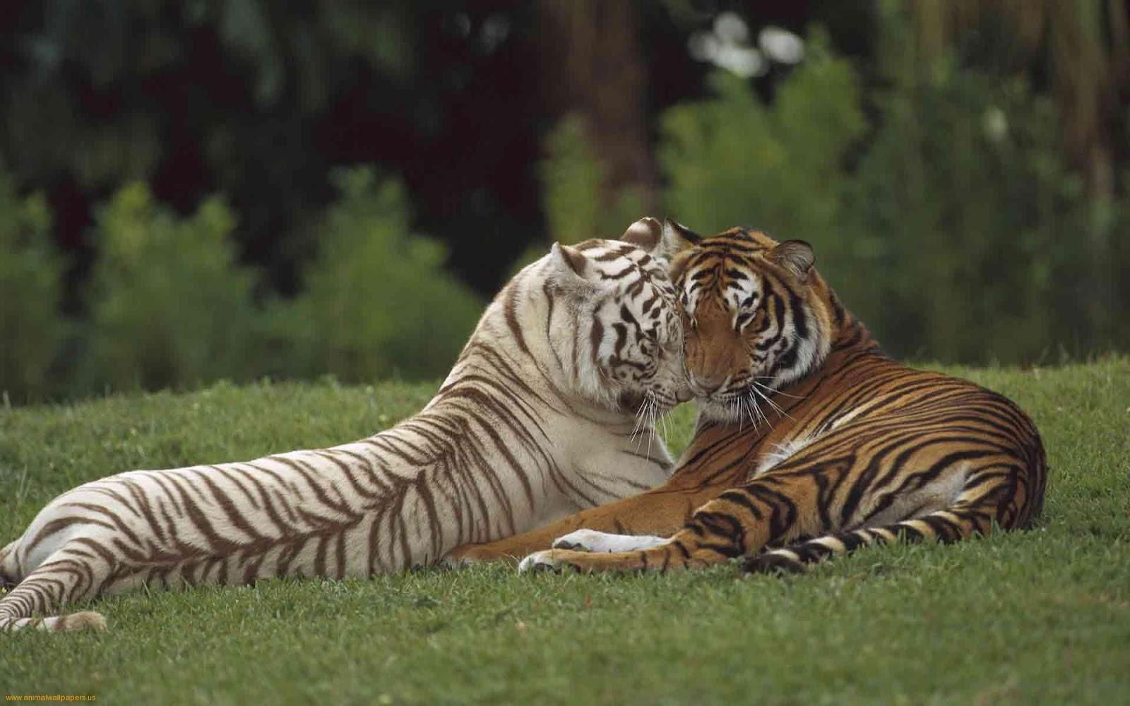 Bengol Tiger