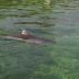 Havaintoja äärimmäisen uhanalaisesta Itämeren pyöriäisestä kerätään taas