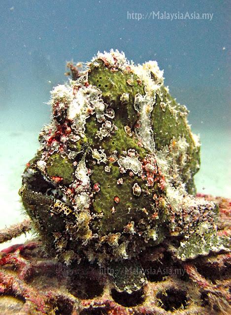 Mabul Island Green Frogfish