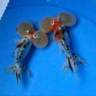 jenis ikan koki akuarium