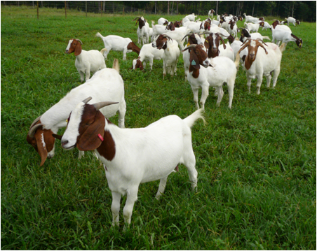 modal untuk menternak kambing