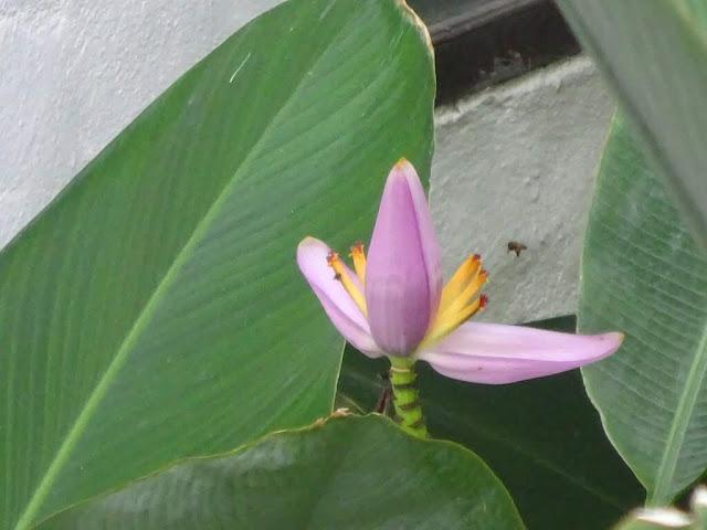 Bananeira-de-jardim (Musa ornata)