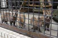ホンドタヌキ、ニッポンアナグマ仲間入り 徳山動物園