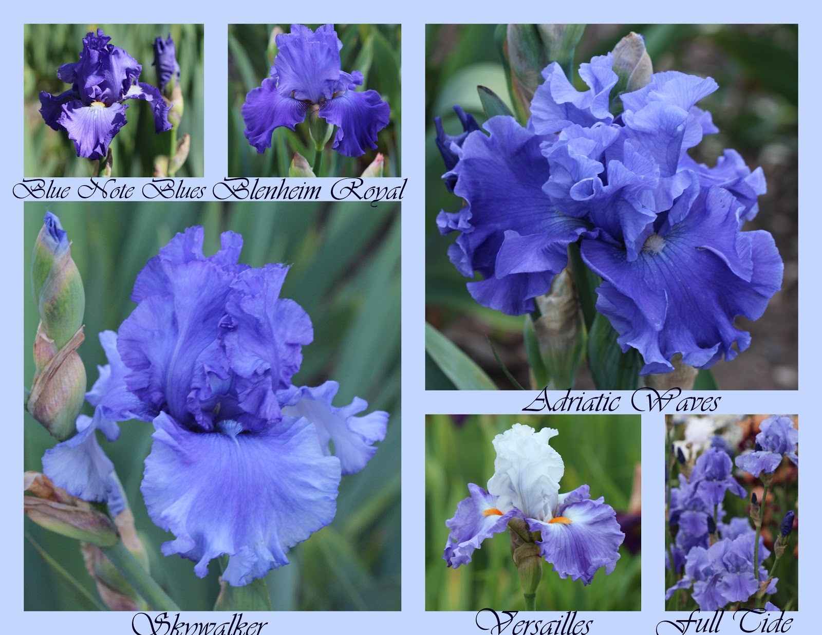 World of irises february 2017 pattern meaning the reverse pattern of a plicata with darker ground color and white edges veins and around beards adriatic waves keith keppel 2008 izmirmasajfo
