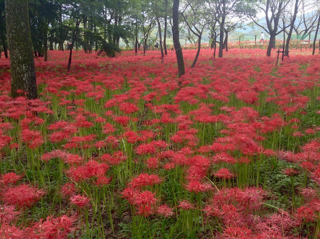 spider lilies Saitama