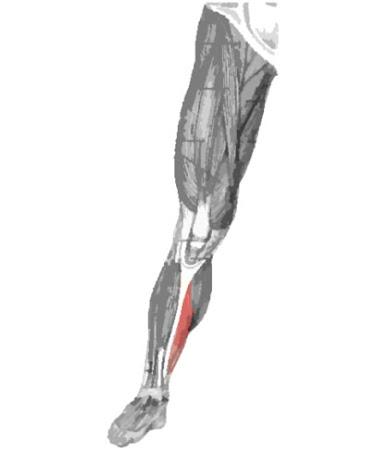 Músculo sóleo remarcado color rojo