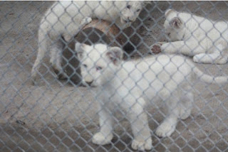 The White Lion Cub Club.