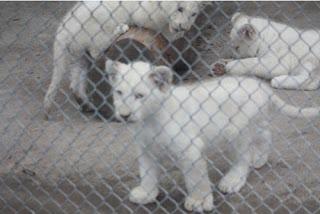 The White Lion Cub Club.