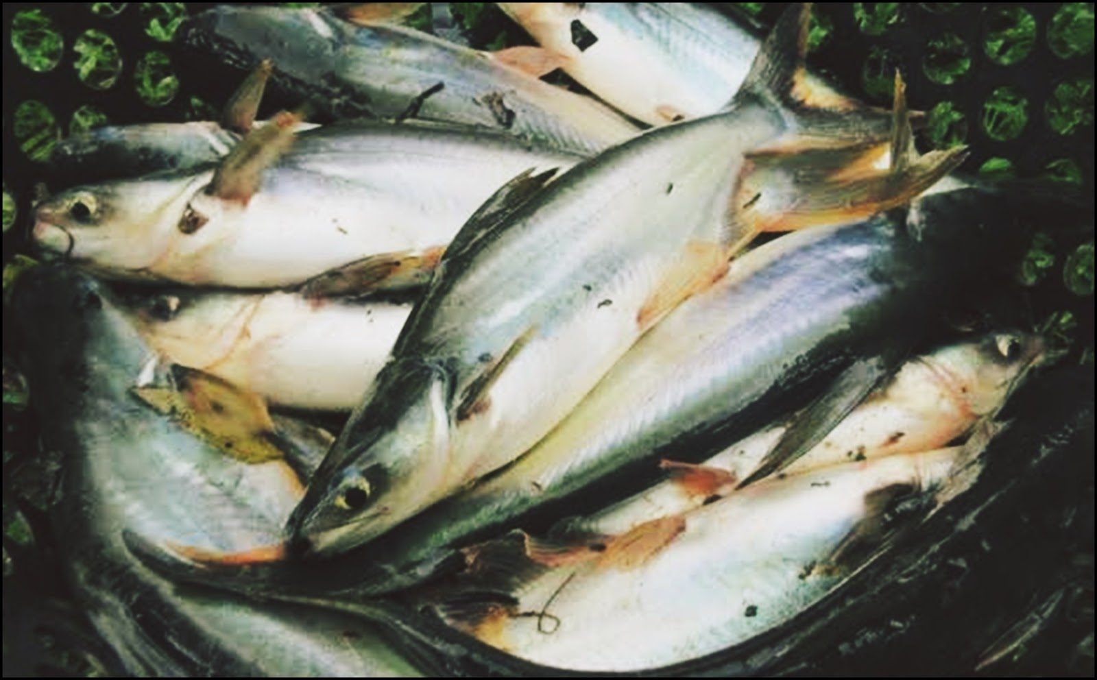 Supplier Jual Ikan Patin di Jogja 2020