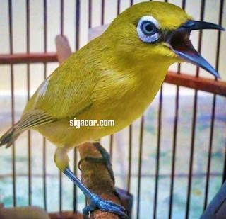 Burung Placi Cepat Buka Paruh