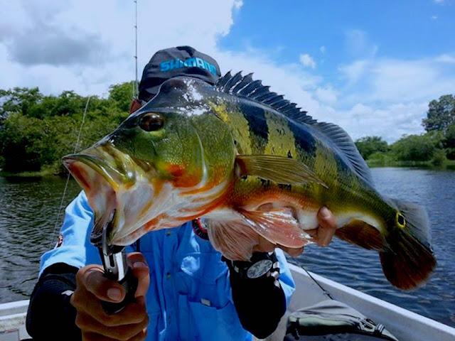 Teknik Mengoda Peacock Bass Dengan Soft Plastic Worm