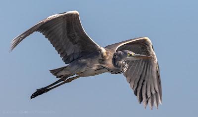 Grey Heron in Flight Table Bay Nature Reserve Woodbridge Island Milnerton Photo Vernon Chalmers