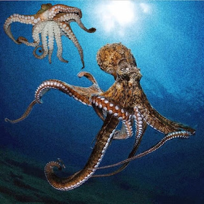 Information about octopus