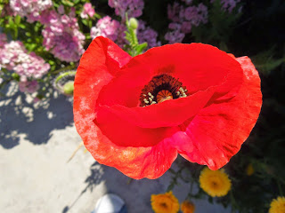 A Flanders Poppy from My Garden, © B. Radisavljevic