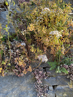 Sedum album and Sedum dasyphyllum growing together on a wall in Bergamo.