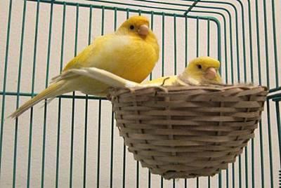 Proses Menjodohkan Burung Kenari
