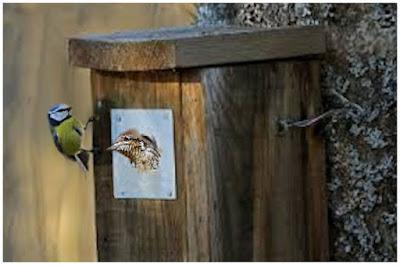 Linnunpönttö, jonka kyljessä sinitiainen ihmettelee käenpiian poikasta, joka saa vain päänsä pöntön aukosta ulos - ei mahdu enempää.