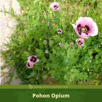 Ciri Ciri Pohon Opium