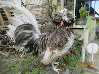 Ready Stock Ayam Poland