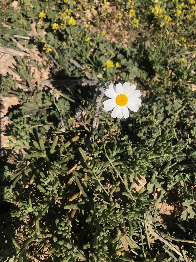 Antheemis deserti