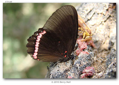 Mariposa alas sangrantes (Biblis hyperia)