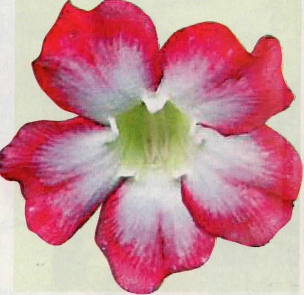 Dua Varietas Adenium Dengan Motif Warna Terang Hasil Kreasi Pehobiis Jakarta