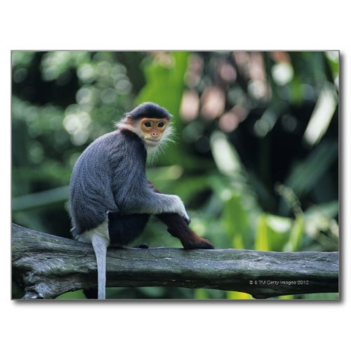Douc Langur Smiling At The Camera | Wildlife Photo Poster