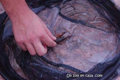 Cangrejo americano encontrado en una nasa