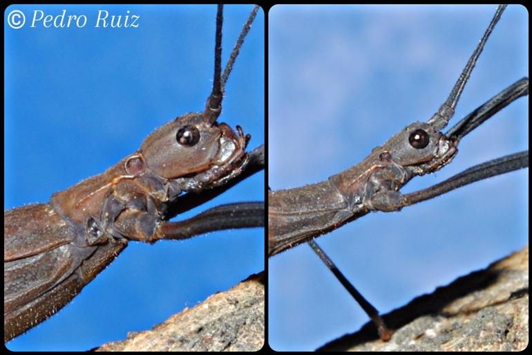 Detalle de la cabeza de una hembra y un macho de Pseudophasma subapterum