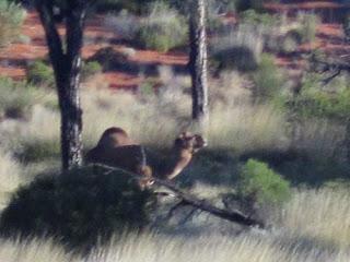 Wild Camel Near Uluru Australia