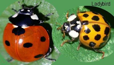 ladybird, ladybird insect